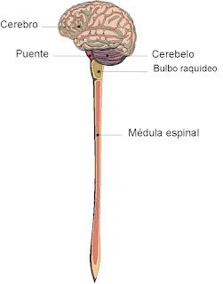 Biolog a y geolog a 3 eso resumen tema 5 sistema nervioso for Paredes sensoriales