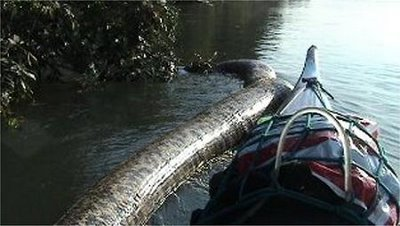 Amazon River Anaconda Snake