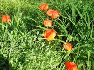 Papaverum orientale
