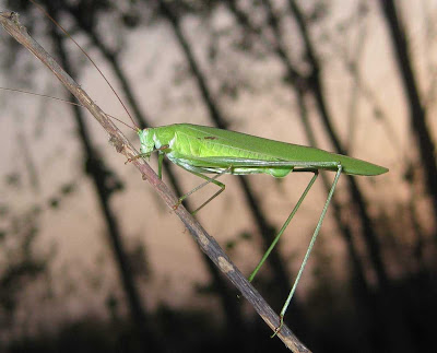 Sickle-bearing Bush-cricket female