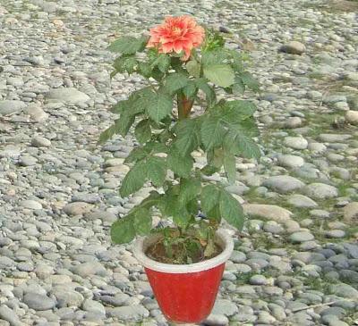 Dahlia Plant Picture