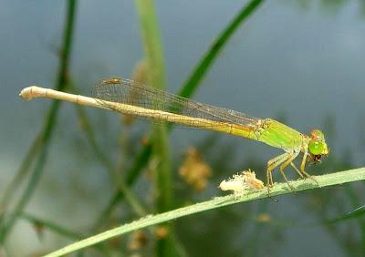 Damselflies-Coromandel Marsh Dart Pictures