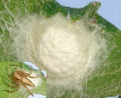 Spider egg sack