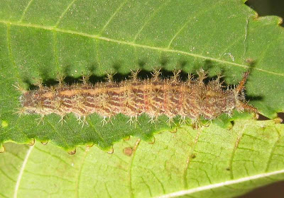 Common Castor Butterfly Larva-Caterpillar Picture
