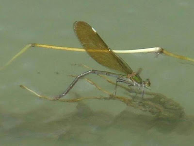 Female Stream Glory Damselfly Picture