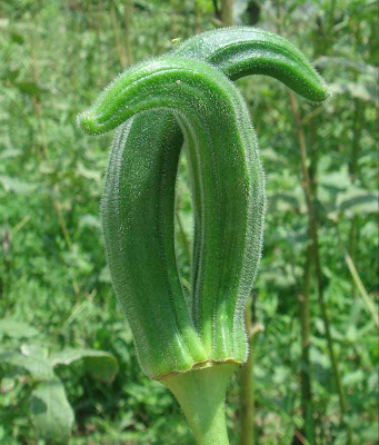 Okra - Lady's Fingers