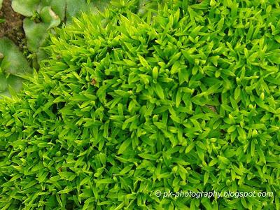 Moss Plants