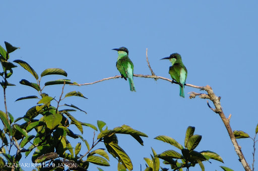 Sabah Blue-throated Bee Eater