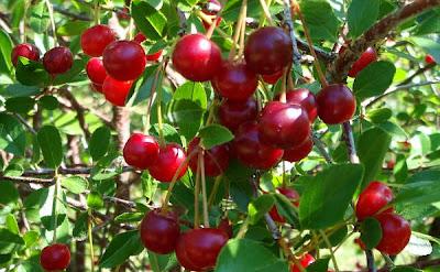 Un cerezo cargado de cerezas
