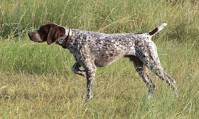 Pointer, perro de caza