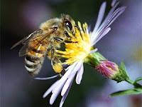 Sikap Lemah Lembut Lebah