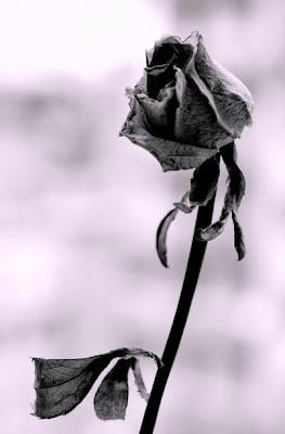 http://1.bp.blogspot.com/_lJsUypiftPc/SNJQc1GNCPI/AAAAAAAABFc/fDVAiH-GLzg/s400/ma+come+fan+presto+amore+ad+appassire+le+rose.jpg