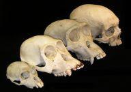 Penemuan Fosil Tertua Manusia di Bumi