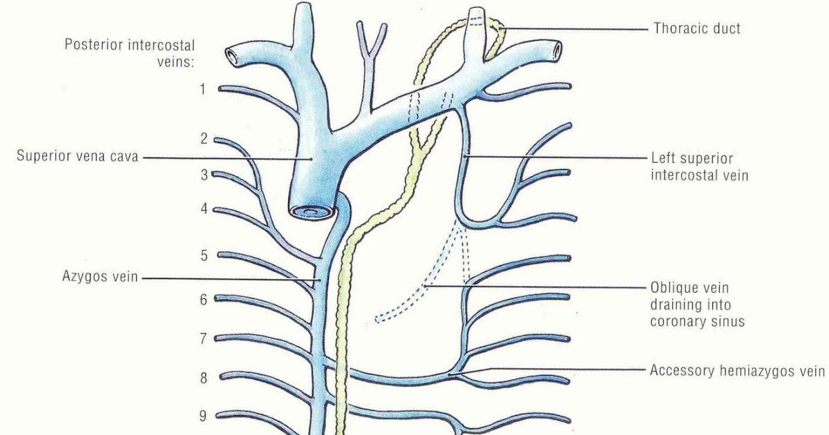 Azygos Vein Anatomy