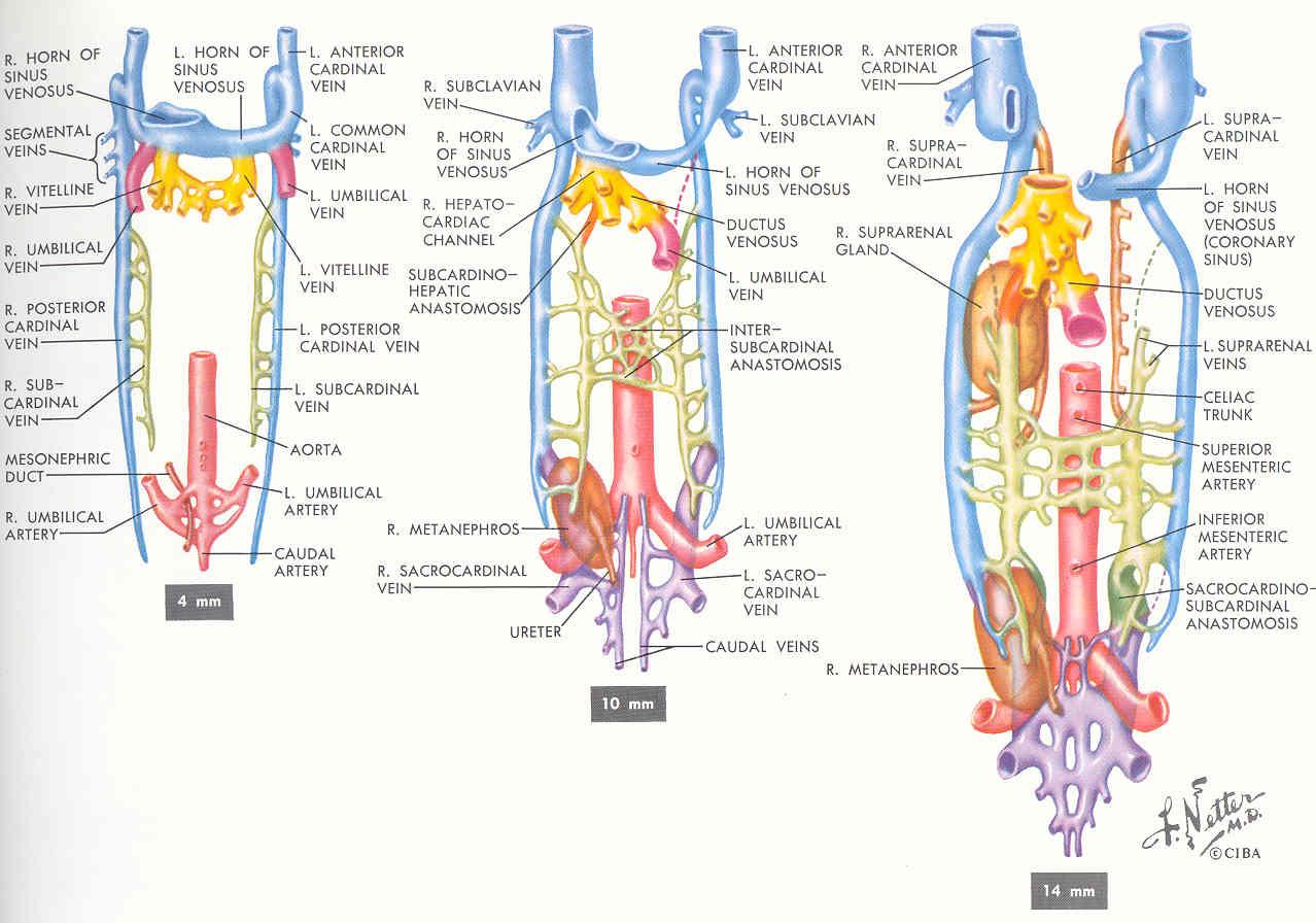 Pedi cardiology: Anatomy: Netter - IVC - Development