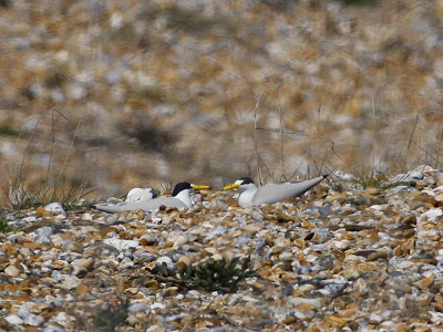 Little Tern Decoy
