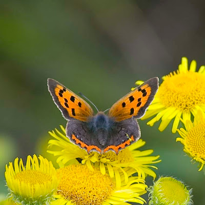 Small Copper form caeruleopunctata