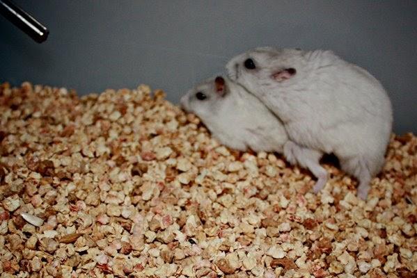 winter white dwarf hamsters breeding