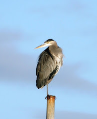 Heron, Boundary Bay, B.C. 11/07