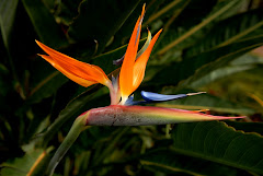 Bird of Paradise  1/11