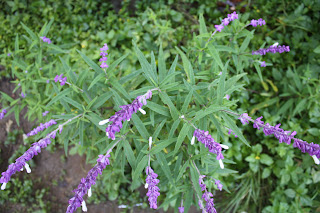 El vibrero plantas que florean en agosto septiembre - Lista nombre arbustos ...