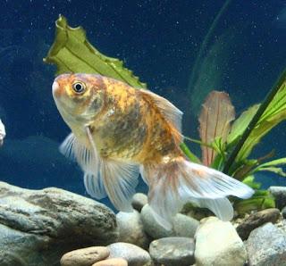 Acquariofilia i miei pesci rossi for Pesci per acquario piccolo