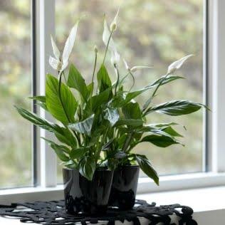 Ideas excelentes plantas para interiores casa haus decoraci n - Planta cuna de moises ...