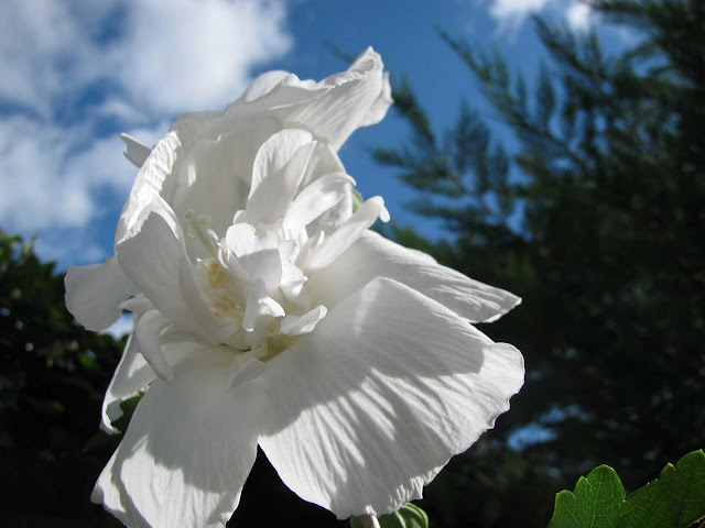 Rose-of-Sharon-in-Summer