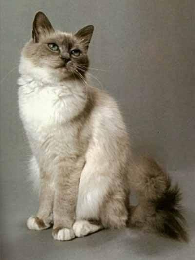 Jual Kucing Birman