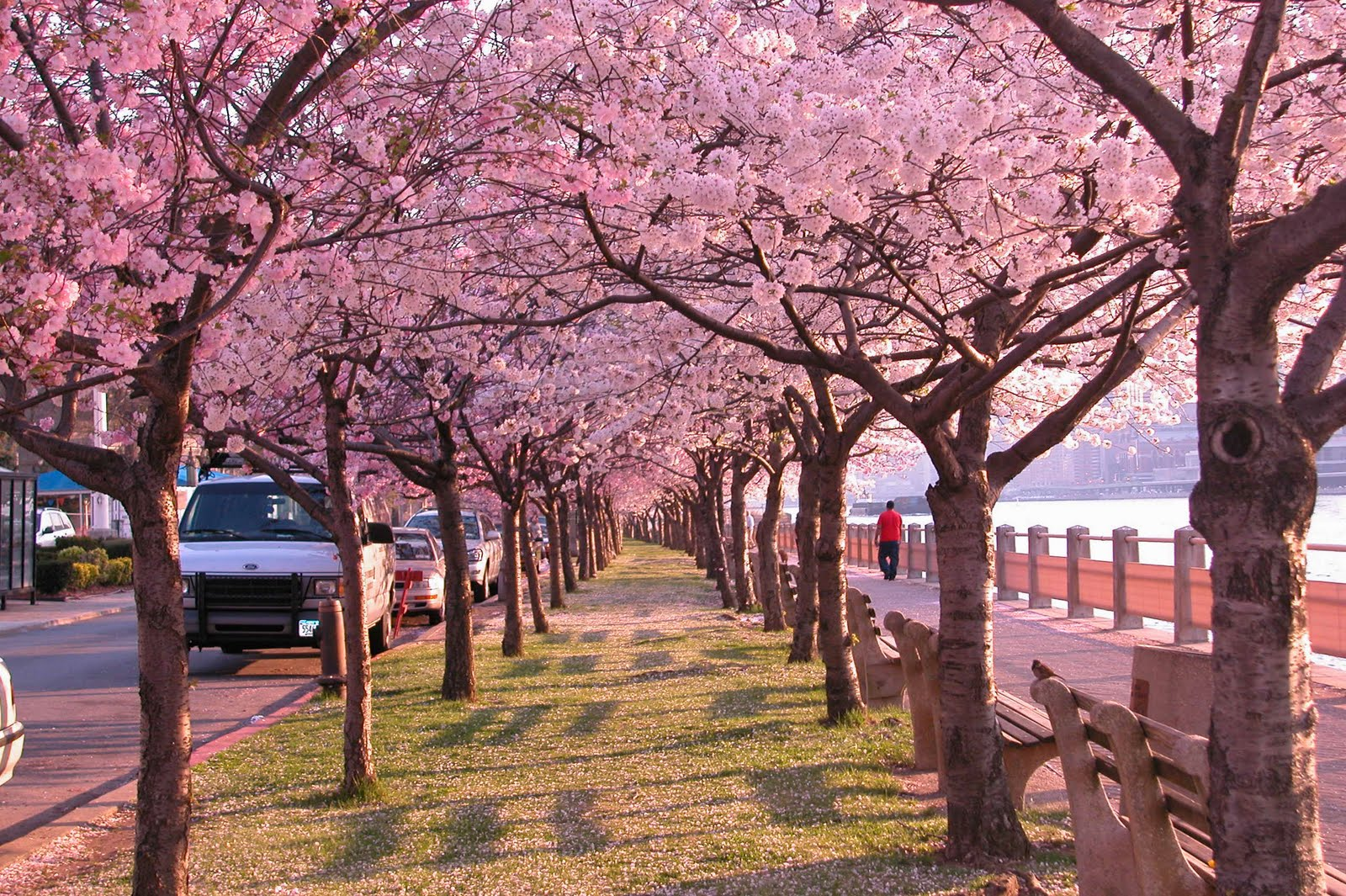 Lotus flower cherry blossoms lotus flower izmirmasajfo