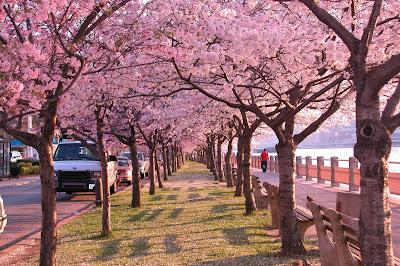 http://1.bp.blogspot.com/_lV1-0OUz7Oc/S7amKVTvyII/AAAAAAAAAw8/yp9Py-97PiQ/s1600/Cherry_Blossom_Walk_by_FairyOnTheInside.jpg