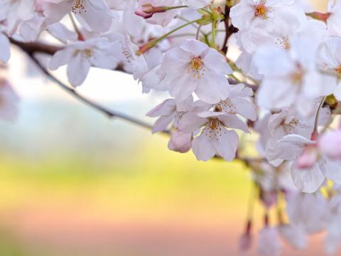 cherry blossoms wallpaper. cherry blossoms wallpaper.