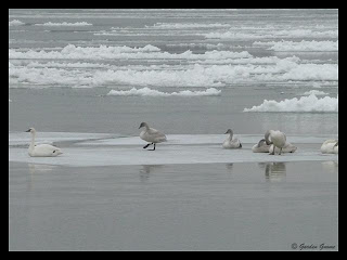 tundra swans on sheet of floating ice