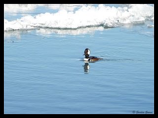 hooded merganser visits