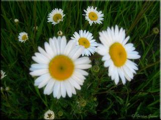 daisy weeds