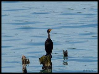 Black Egret (Egretta ardesiaca)