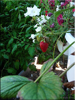 hanging strawberry basket