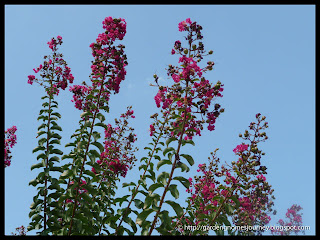 pink flower tree with blue sky