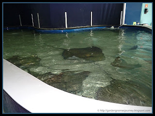 giant stingray tank at The Florida Aquarium