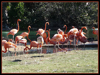 Caribbean Flamingos at Busch Gardens, Tampa, Florida