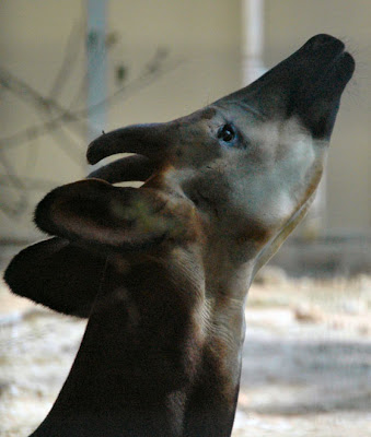 a comparison of the okapia johnstoni and the giraffa cameloparalis Startup guide a a comparison of the okapia johnstoni and the giraffa  of the okapia johnstoni and the giraffa cameloparalis curated list of.