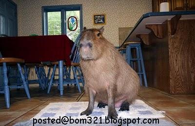 biggest hamster