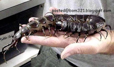 biggest centipede