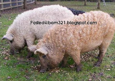 pig combine with sheep