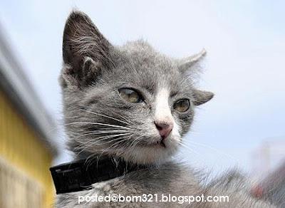 Gambar Kucing Bertelinga Empat !