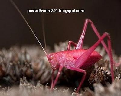 Belalang Warna Merah Jambu (Pink)