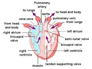 http://1.bp.blogspot.com/_lZVz-ni60As/SRo65_LpsdI/AAAAAAAAAAc/-7GQC2--sw8/s320/jantung.jpg