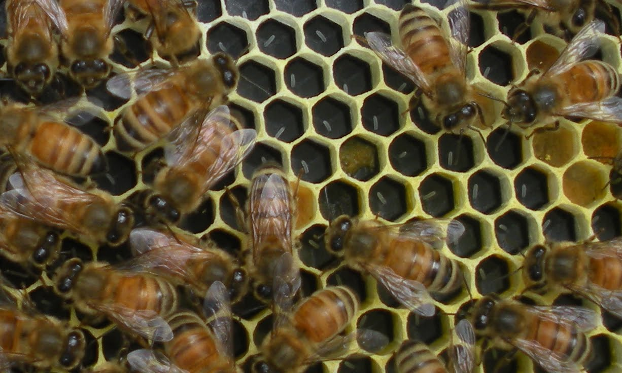 queen bee laying eggs - photo #16