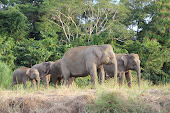 elephants in the river Kinabatangan