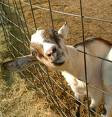 Goats R US